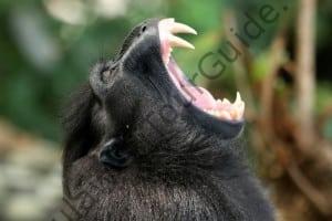 Black Nigra Macaque